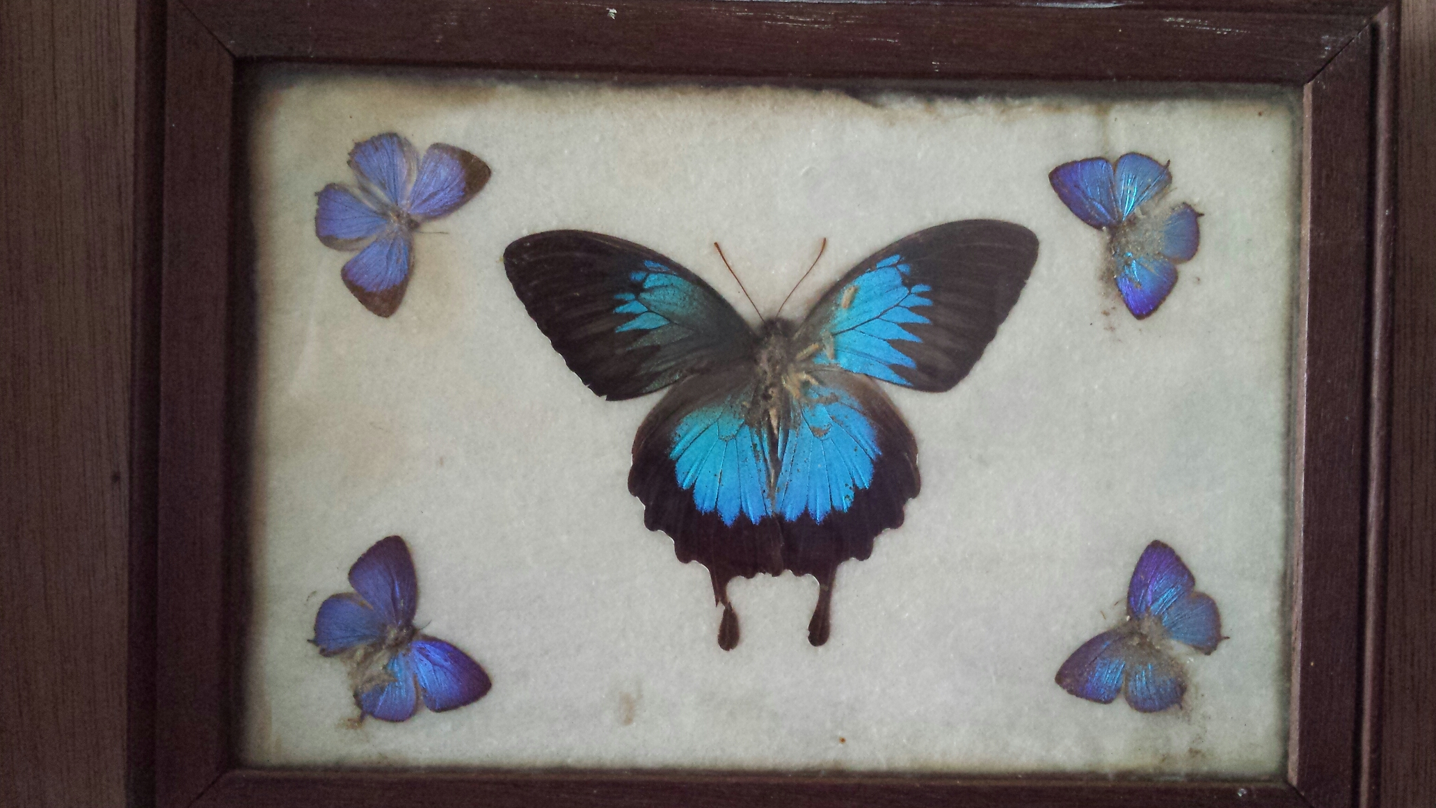 Daddy's Butterfly Collection